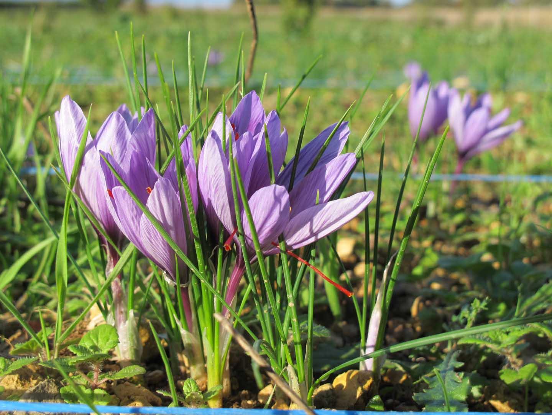 Fleur du safran
