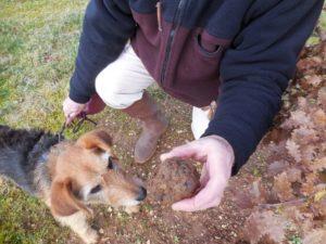 le cavage de la truffe noire chez Berry 3 Sens