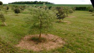 Chêne vert truffier