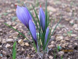 Récolte du safran : les fleurs de Crocus Sativus Linne